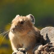 pika standing alert, background blurred