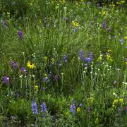Alpine meadow on Niwot Ridge, CO - Photo Credit: William D. Bowman