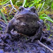 Adult Boreal Toad