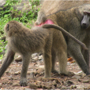 Two baboons observe their surroundings.
