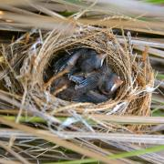 Barn swallows in their nest.