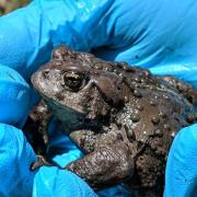 A fungus is killing off Boreal toads, a type of toad specifically adapted to high-altitude life in the southern Rocky Mountains.
