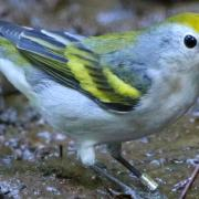warbler birt on ground, close up shot, can see colors on birds wings