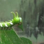 A caterpillar feeds on leaf flesh.