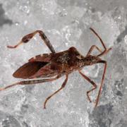 awestern conifer seed bug climbing on snow