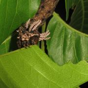 Citheronia caterpillar eating leaf