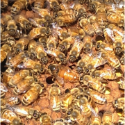 Honeybees in a hive.