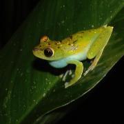 Hyla rufitela tree frog sits on a large green leaf