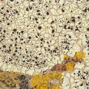 lichen Lechanora argopholis (Butter Biscuits), photo by Erin Tripp