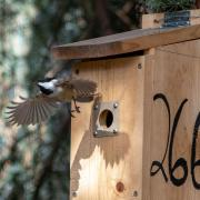 """The fact that the parasite has infected non-migratory chickadees is concerning because it's """"a sign that it is already spreading,"""" Theodosopoulos says. A migratory bird can be infected anywhere along its journey, but the chickadees had to have contracted the disease locally. Until now, the only recorded North American birds with SGS1 were captive birds in New York and one wild, migratory tree swallow in Canada. Theodosopoulos speculates mosquitoes may have spread the disease from infected birds in zoos, whi"""
