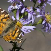 painted lady butterfly refuels nectar stores during migration - photo by Jeff Mitton