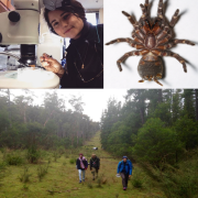 three panel photo of rachel working in the lab, in the field and the funnel-web-spider - photo by Andy Better