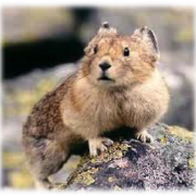 An alert pika atop a rock.