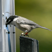 A chickadee getting food at one of the RFID-equipped feeders.