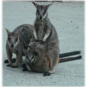 A group of wallabies poses for the camera.
