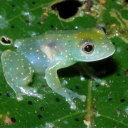 C. euknemos is one of many frog species threatened by chytrid fungus. (Photo: Doug Woodhams)