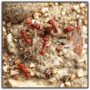 harvester ants close up photo
