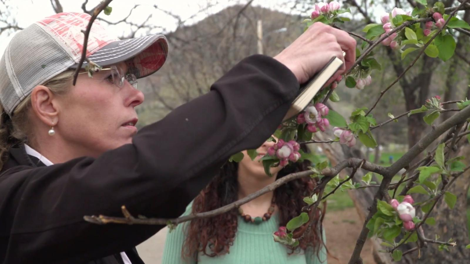 sudding examining an apple tree