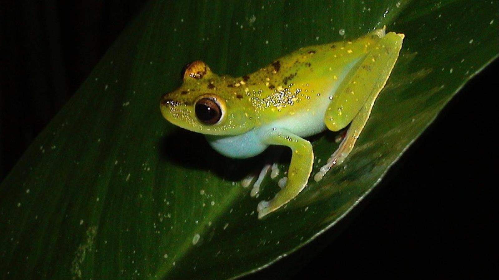 Hyla rufitela tree frog sits on a large green leaf