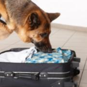 A drug-sniffing dog uses his nose to explore the contents of a suitcase.