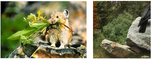 Climate change impacts to pika in Colorado