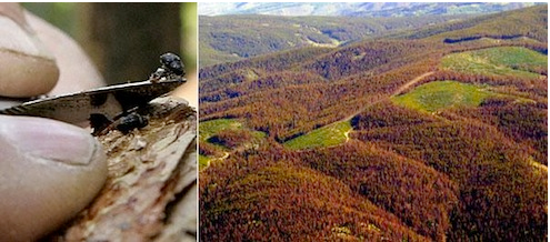 Pine bettle damage to Colorado Forests
