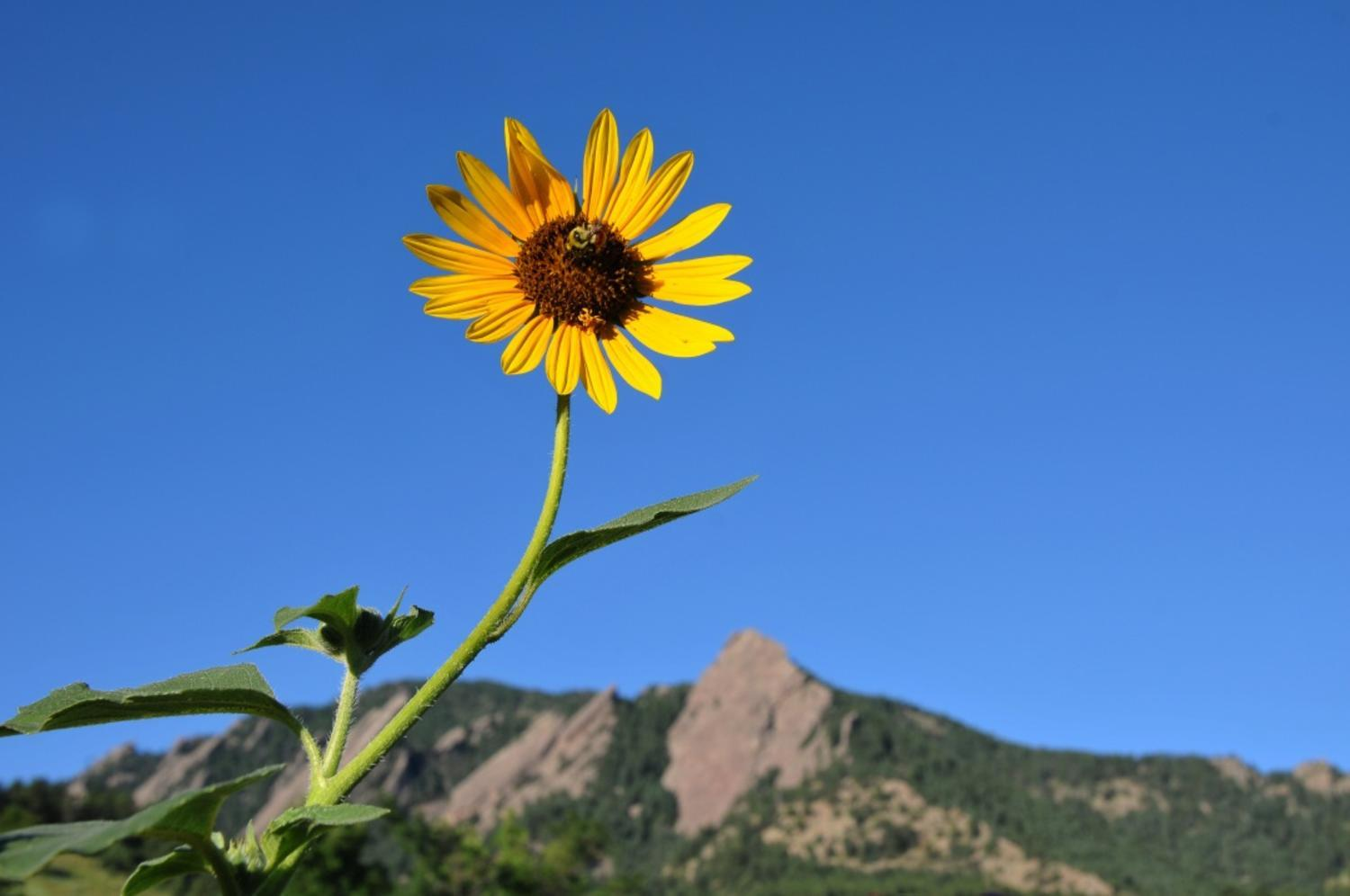 A sunflower grows in a garden in front of the Flatirons at Chautauqua Park in Boulder, Colorado.