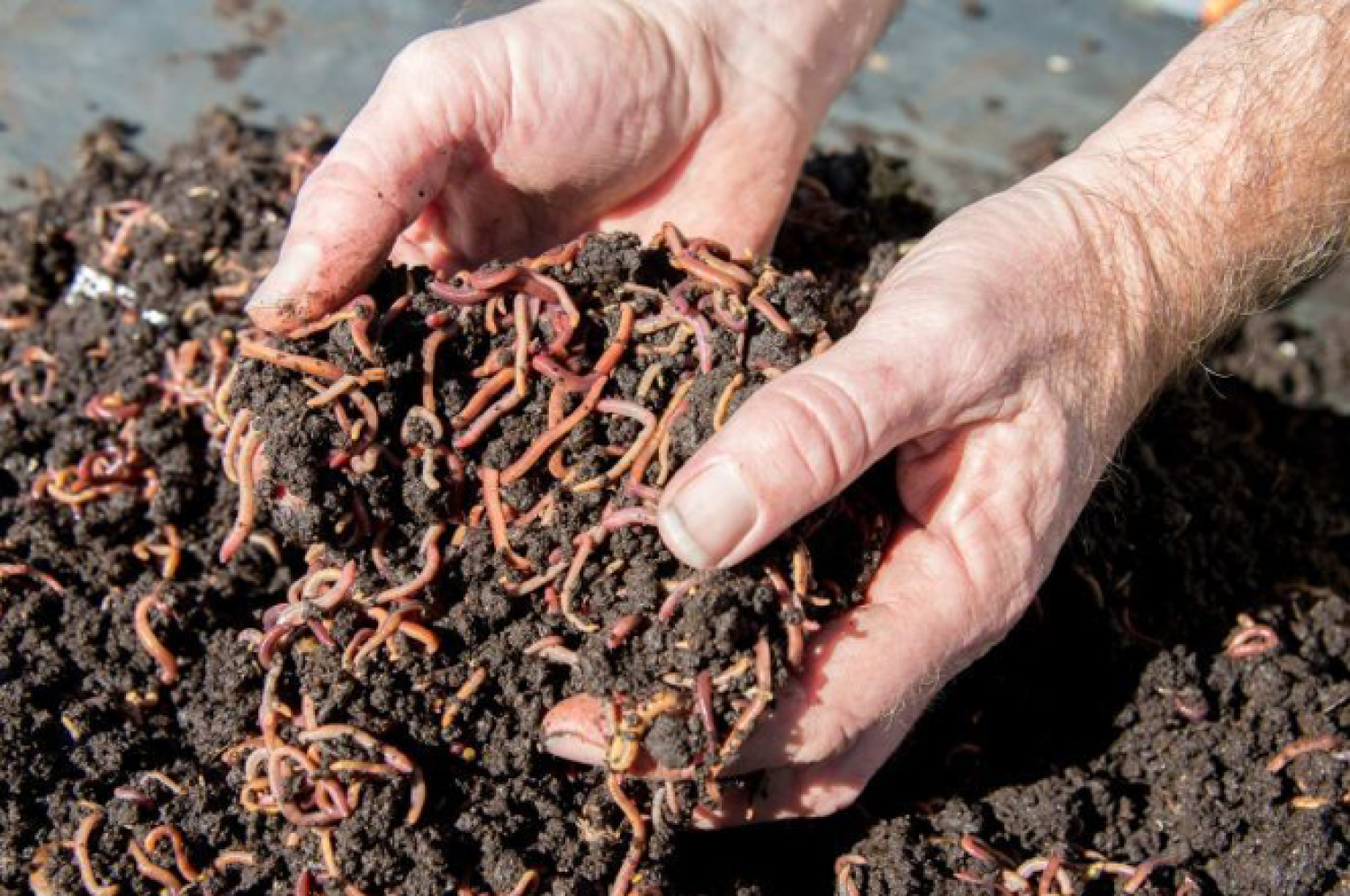 Worms in hand from great soil