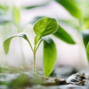 two seedlings growing in dirt
