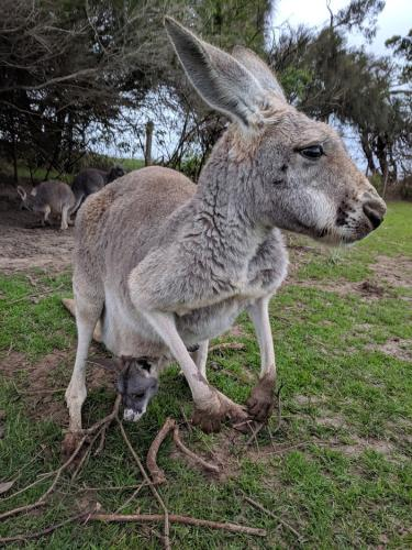 A Kangaroo in Melbourn