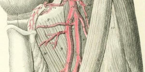 Anatomy diagram showing blood vessels