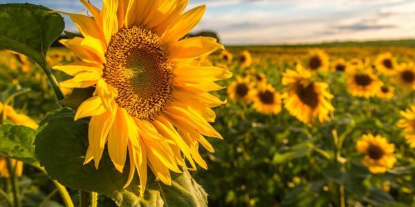 Sunflower in a field of sunflowers