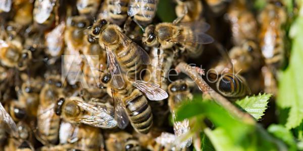 Close up of honeybee swarm