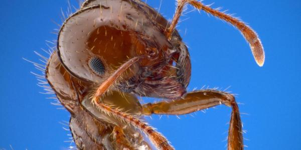 A close image of a fire ant