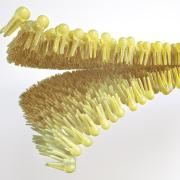 Human lipid bilayer rendering