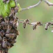 Bees linking together in a swarm