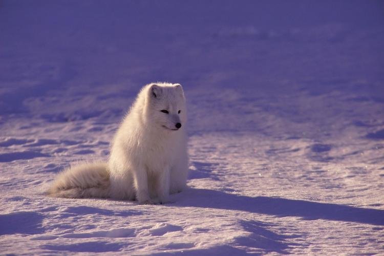 arctic fox in tundra