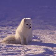 arctic fox in tundra