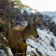 A huemul wears a tracking collar