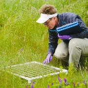 Sharon Collinge counting vernal pool plants in permanent plots during field research on ecology and restoration of vernal pool plant communities at Travis AFB, California.