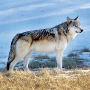 Gray wolf in nature