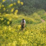 Man biking in a field of yellow flowers