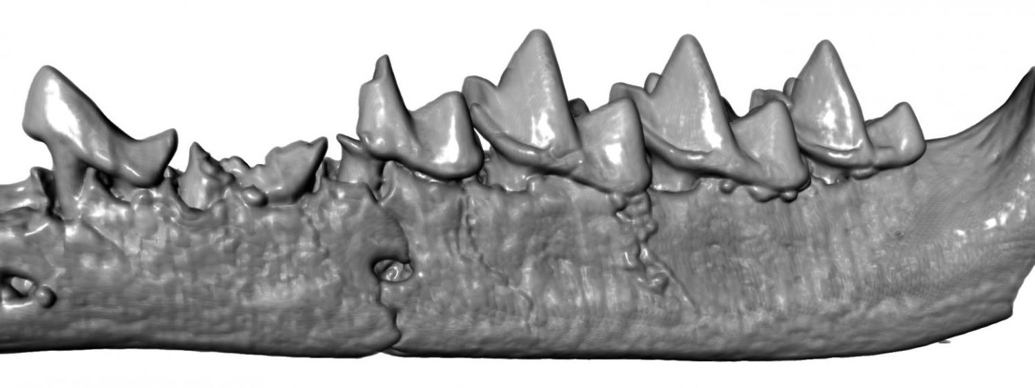 3D computerized image of a Marsupial Tooth (Eberle et al, 2019)