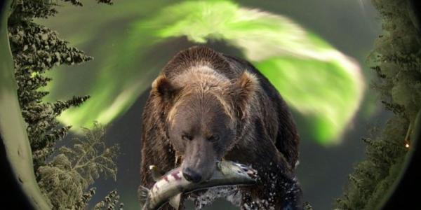 Bear with Aurora overhead
