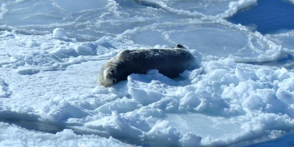Sea laying on ice