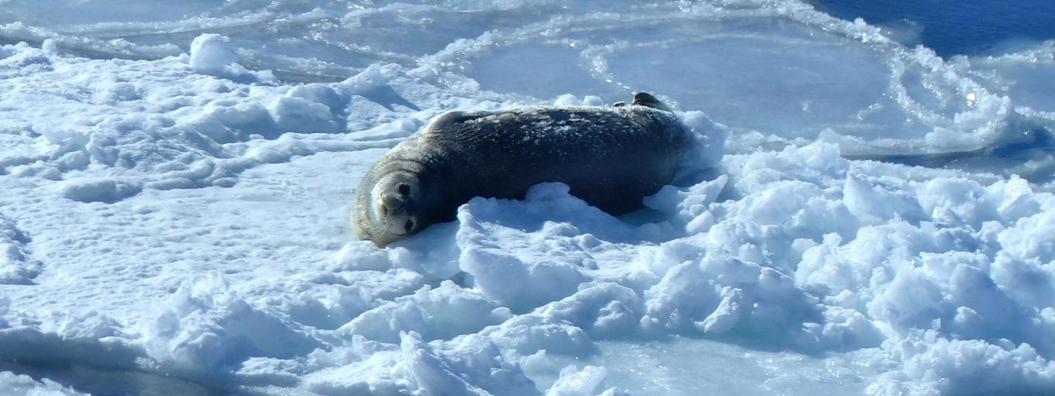 Picture of seal on ice