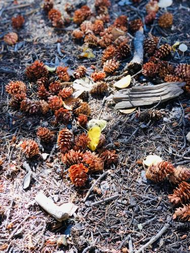 Pic for Autumnal Equinox Golden Aspen leaf amongst pinecones and sticks