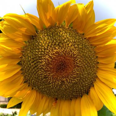 Close up photo of a Sunflower on a summer day