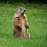 Photo of a ground hog standing up in green grass