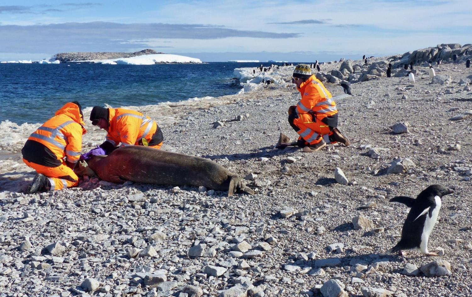 Researchers tagging seal on rocky Antarctic beach